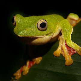 Let me see that world  by Vivek Raut - Animals Amphibians ( frog, green, amboli, malabar, western ghat, gliding )