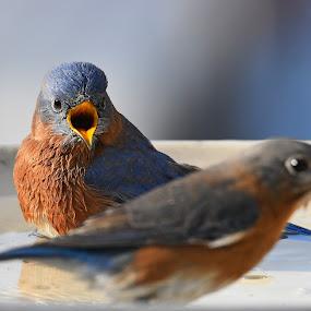 Privacy please, I'm bathing!!! by Steven Liffmann - Animals Birds