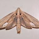 Teak Beehole Borer Moth