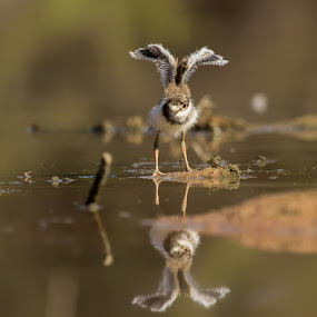 Fly with me by Dave . - Animals Birds ( water, bird, wild, nature, killdeer, wildlife,  )