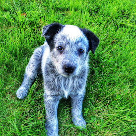 Cato  by Kevin Chan - Animals - Dogs Puppies ( iphoneography, puppies, cato, male, blue heeler, dog, portrait )