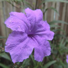 Petal Drops by William Rhodes - Flowers Flowers in the Wild ( beautiful, rain drops, flower, purple flower )
