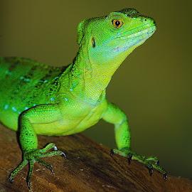 Basilic lezard by Gérard CHATENET - Animals Reptiles