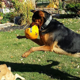 INCOMING by Anthony Carlo - Animals - Dogs Playing ( ball, dogs, jumping, dogs playing, fun,  )