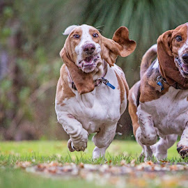 Basset Hounds on the  move by Kelly Pilgrim-Byrne - Animals - Dogs Running ( dogs, dogs running, basset hound )