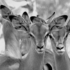 Impala Creche by Fanie van Vuuren - Black & White Animals