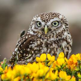 Mellow yellow by Garry Chisholm - Animals Birds ( bird, garry chisholm, nature, owl, wildlife, prey, raptor )