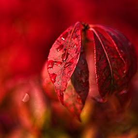 Burning Bush by Connie Publicover - Nature Up Close Leaves & Grasses (  )