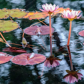 Water-lily reflections by Vanko Dimitrov - Nature Up Close Other plants ( reflection, lilies )