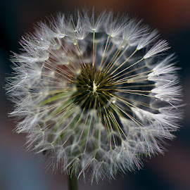 dandy1 by Kevin Adams - Nature Up Close Other plants