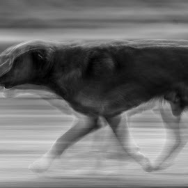 3 in 1 by Nenad Borojevic Foto - Animals - Dogs Running ( 3 in 1 )