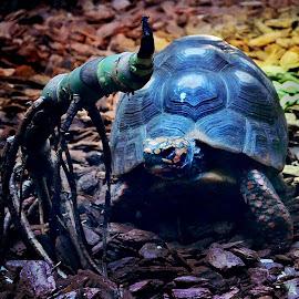 Turtle show by Mladjan Pajkic - Animals Amphibians ( colors, amphibian, raptor, shield, turtle )