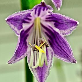 Single Flower by Joe Fazio - Flowers Single Flower ( bud, center, purple, garden, flower, stem )