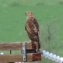 Red-tailed Hawk - immature