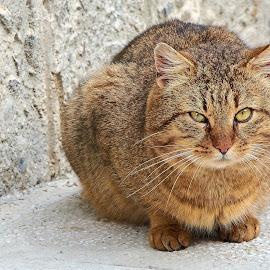 by Macinca Adrian - Animals - Cats Portraits