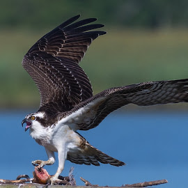 Southern MD Osprey by Cindy Hartman - Animals Birds ( bird, bird of prey, nest, southern maryland, patuxent, maryland, birds, patuxent river, river, osprey )