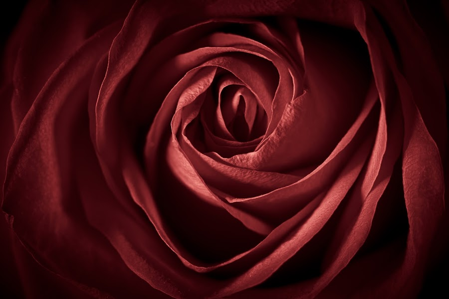 Rose by Kevin Brannan - Nature Up Close Flowers - 2011-2013 ( rose, red, nature, petals, plants, flowers )
