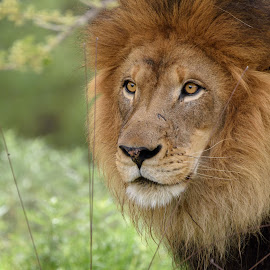 by William Sawtell - Animals Lions, Tigers & Big Cats ( cats, king of the jungle, lion, wildlife, male lion )
