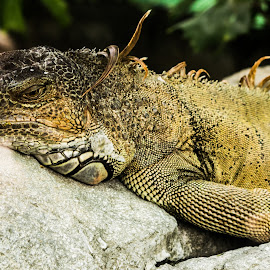 Resting on rocks by Francois Wolfaardt - Animals Reptiles