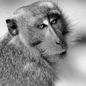 Sept 15 black and white monkey.jpg