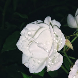White rose by Zachary Taylor - Instagram & Mobile Android ( rose, green, white, dark, night )