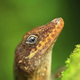 Lizard close-up by Tadas Jucys - Animals Reptiles ( lizard, blue, green, moss, travel, dominica, close-up, closeup, island, eye )
