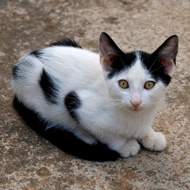 Young kitten by Berit Watkin - Animals - Cats Kittens ( kitten, cat, black and white, young, animal,  )