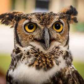 What a Hoot! by Ken Wagner - Animals Birds ( nature, sigma, owl, raptor, nikon, portrait, eyes,  )