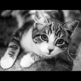 Dickie by Melanie Pond - Animals - Cats Kittens ( blackandwhite, kitten, playful, black and white, kittens, cute, bnw, eyes,  )