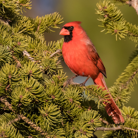 Northern Male Cardinal by Robert George - Animals Birds (  )