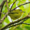 Yellowish White-Eye