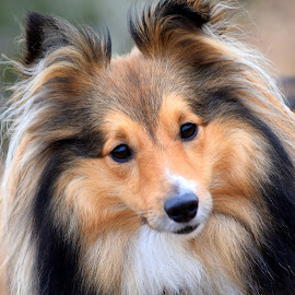 Benji portrait - my sheltie by Fiona Etkin - Animals - Dogs Portraits ( pet portrait, canine, nature, pet, shetland sheepdog, cute, sheltie, animal )