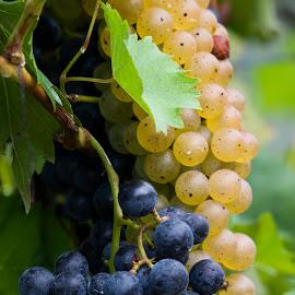 Grapes on the Vine by Steven Faucette - Food & Drink Fruits & Vegetables ( vineyard, grapes )