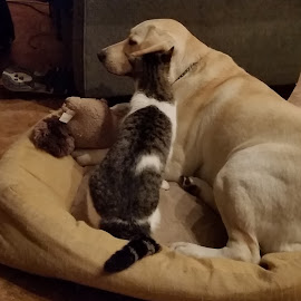 Guess what Ginger told me???!!! by Kathy Psencik - Animals Other Mammals ( cat, dog, dog and cat, talking to each other, secters, cat and dog )