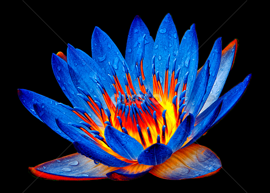 Lotus #6 by TEDDY ZUSMA - Nature Up Close Flowers - 2011-2013