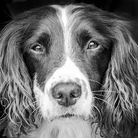 Spring Spaniel Portrait  by Vicki Roebuck - Animals - Dogs Portraits ( black background, springer spaniel, portrait, eyes )