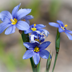 Blue by Roger Armstrong - Nature Up Close Flowers - 2011-2013 ( wildflowers, blue, texas, flowers, floral )