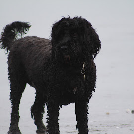 by Nick Stewart - Animals - Dogs Playing ( cockapoo, winter, wet dog, beach, dog, cornwall, outside )