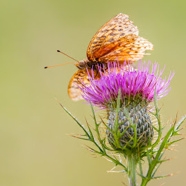 Moth Thistle by Kevin Frick - Animals Insects & Spiders ( moth, purple, flower )