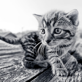 First Adventure by Henrik Spranz - Animals - Cats Kittens ( cat, adventure, kitten, white, baby, cute, kitty, young, black )