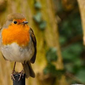 Nice lil bird by Terence Lim - Animals Birds ( bird, robin, perched, orange, wild, nature, wildlife, perch )