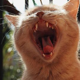 Yawn by Guido Ferrari - Animals - Cats Portraits ( cats, animals, cat, portraits, animal )