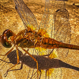 Golden Dragon Fly by Pat Lasley - Instagram & Mobile iPhone ( vertabrae, dragon fly, flying bug, bug, insect )