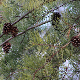 In the Pines by Michelle Brush - Nature Up Close Trees & Bushes