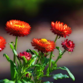An orange state of affairs  by Amanda Daly - Flowers Flowers in the Wild