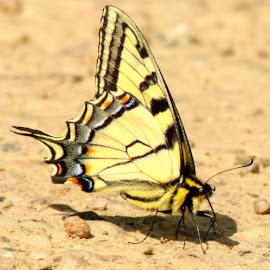 Yellow Swallowtail by Wilma Michel - Animals Insects & Spiders