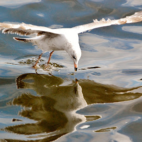 Reflections by Keri Butcher - Novices Only Wildlife ( water, inlets, bay, florida, seagulls, ocean, travel )