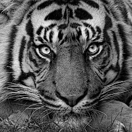 Here's Looking at You by Pat Hartley - Animals Lions, Tigers & Big Cats