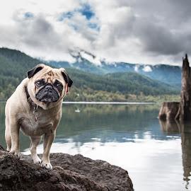 by Jennifer Wollman - Animals - Dogs Portraits ( animals, pet photography, pet portraits, dogs, pugs, dog photography, dog portraits, pug )