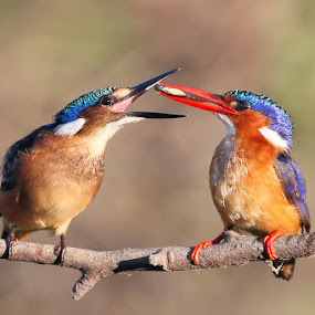 I'm Hungry! by Neal Cooper - Animals Birds ( malachite kingfishers )